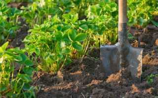 Как ухаживать за клубникой после сбора урожая?