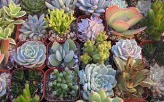 Суккуленты: виды комнатных растений и уход за ними