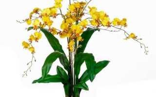 Уход за желтым онцидиумом в домашних условиях
