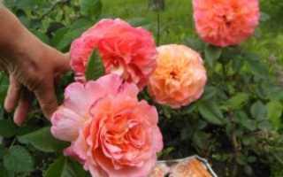 Описание и выращивание роз сорта Августа Луиза