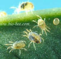 Клещи — вредители растений