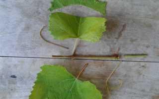 Как размножить виноград: черенкование и другие способы