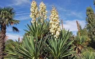 Садовая юкка: размножение и уход за растением