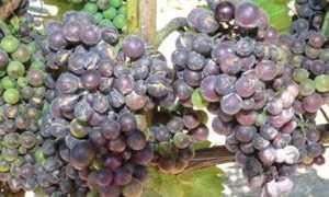 Болезни винограда и их лечение, борьба с вредителями