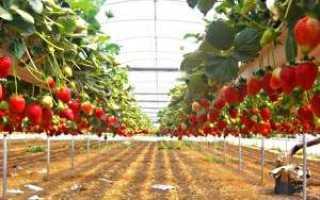Выращивание клубники по голландской технологии в теплицах