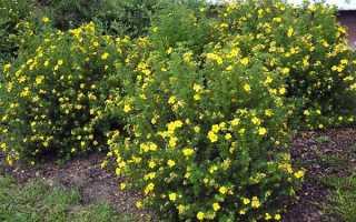 Как вырастить и размножить кустарниковую лапчатку