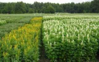 Какие растения относятся к сидератам для выращивания на даче