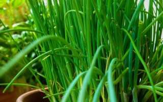 Незаменимая зелень для огорода на подоконнике