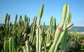 Цереус: виды и выращивание кактуса в домашних условиях