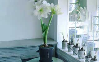 Уход за цветком амариллис в домашних условиях