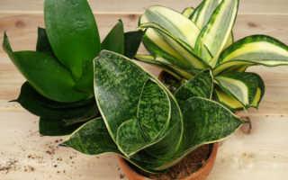 Цветок тещин язык: уход за растением в домашних условиях