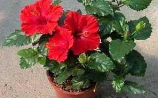 Выращивание китайской розы в домашних условиях и уход за ней