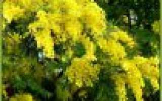 Цветок мимоза: описание, выращивание и уход