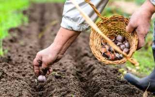 Как правильно посадить зимний чеснок осенью