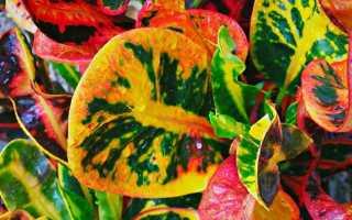 Современные сорта кротона и их выращивание