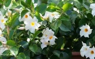 Выращивание и уход за мандевиллой в домашних условиях