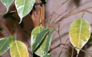 Почему фикус может сбрасывать листья и что делать