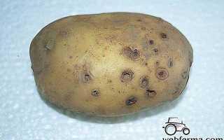 Как бороться с проволочником на картошке и вывести вредителя