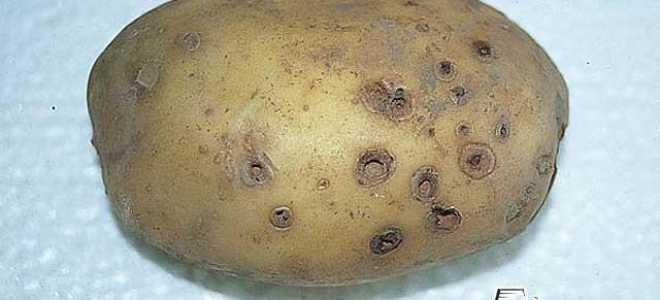 Проверенные способы избавиться от проволочника на картошке