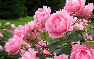 Правильная посадка роз: как нужно сажать растения