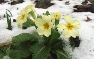Ранние весенние цветы: семейства и виды
