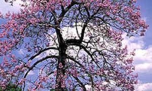 Павловния, или адамово дерево: описание и выращивание
