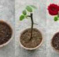 Как посадить розу?