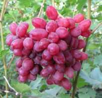 Описание и характеристики сорта винограда Велес