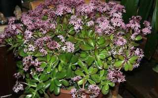 Денежное дерево: выращивание комнатного растения и его родина