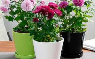 Уход в домашних условиях за хризантемой в горшке