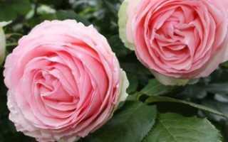Роза морщинистая – красота необыкновенная