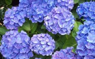 Названия и описания маленьких и больших голубых цветов