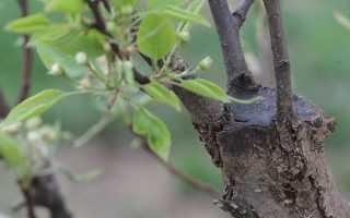 Прививка плодовых деревьев. Способы прививания