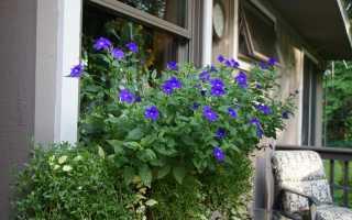 Броваллия — все оттенки лилового
