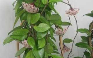 Комнатное растение хойя карноза (hoya carnosa)