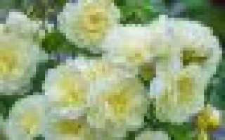 Описание и сорта парковых роз, правила ухода за ними
