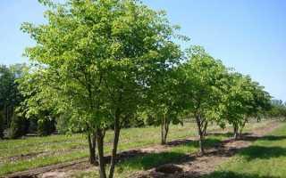 Описание и выращивание липы мелколистной