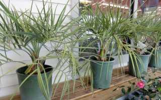 4 комнатные пальмы не для всех