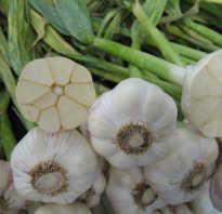 Выращиваем лук-чеснок Рокамболь