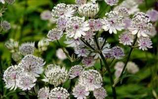 Крупная астранция (astrantia major): выращивание цветка