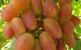 Особенности выращивания винограда сорта Сенсация