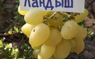 Уникальность нового сорта винограда ландыш