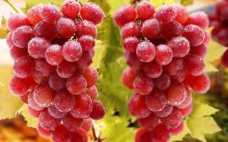 Морозоустойчивые сорта неукрывного винограда для Подмосковья
