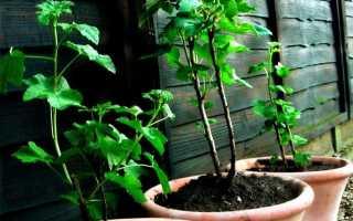 Размножение смородины осенними черенками