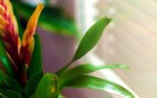 Вриезия: уход за цветком в домашних условиях