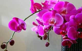 Вырастить орхидею несложно
