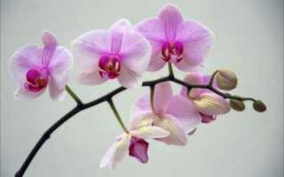 Почему орхидея не цветёт в домашних условиях