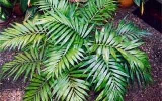 Изящная хамедорея элеганс или комнатная пальма