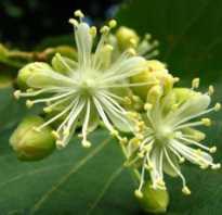Выращивание и правила ухода за липой в открытом грунте