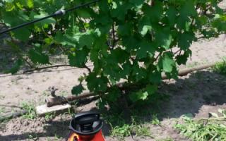 Осенняя обработка винограда против вредителей и болезней